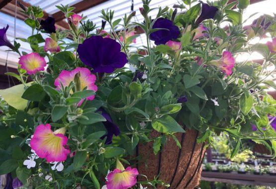 Free Hanging Basket Day @ Sunnyside Nursery